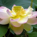 640px-Lotus_Nelumbo_nucifera_Flower_Large_3264px